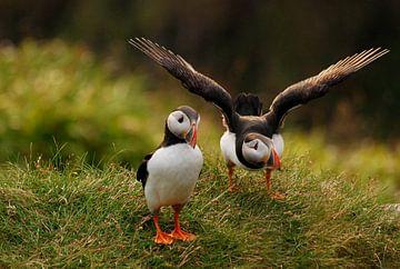 Papegaaiduikers op Runde, Noorwegen van Margreet Frowijn
