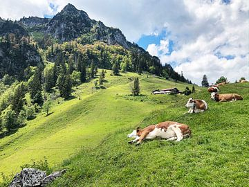 Entspannt schlafende Kühe auf einer grünen Almwiese mit Berg