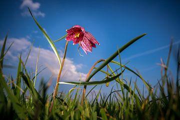 Dansende wilde bloem (kievitsbloem) in het hoge grasland  tegen een blauwe wolkenlucht. van Fotografiecor .nl