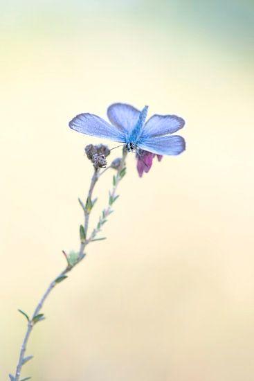 Vlinder, heideblauwtje.