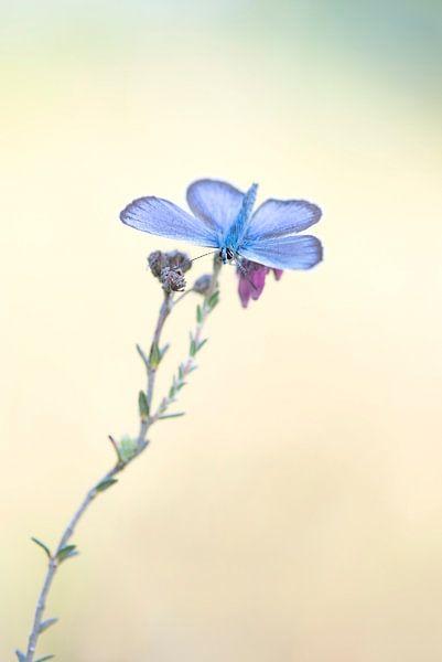 Vlinder, heideblauwtje. van Francis Dost