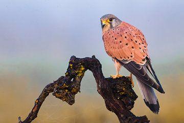Mannetje Torenvalk (Falco tinnunculus) van Beschermingswerk voor aan uw muur