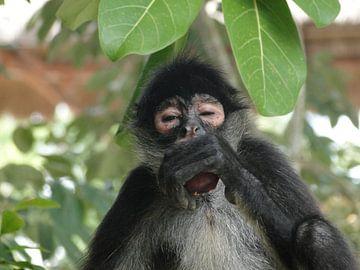 Aap eet fruit uit boom van Marcel Schouten