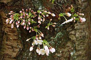 springtime! ... under the cherry tree 04
