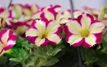 Bloemen von Clicksby JB