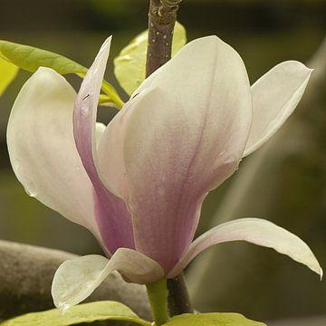 Magnolia bloem van Bargo Kunst