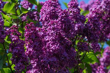 Paarse bloeiende bloemen van de seringen bloemen