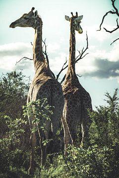 Giraffen. von Niels Jaeqx