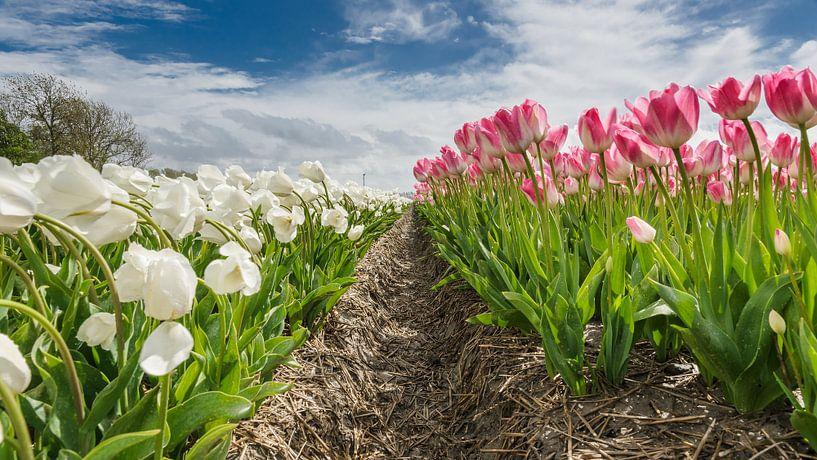 Tulpenveld in de Hollandsche polder, Flevoland van Fotografiecor .nl