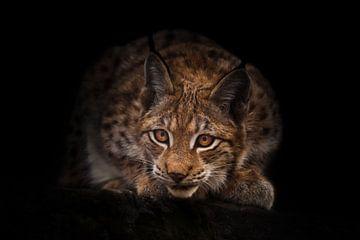 Lynx regarde curieusement dans l'obscurité (embuscade) sur fond de nuit noire. Un beau lynx félin es sur Michael Semenov