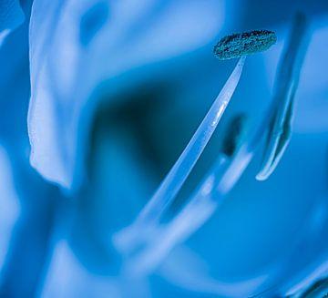 Witte amaryllis in blauw van Mischa Corsius
