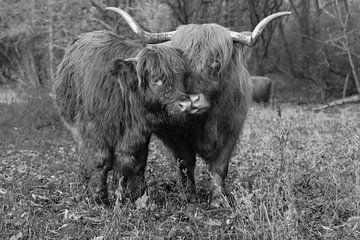 Schotse hooglanders van Foto Amsterdam / Peter Bartelings