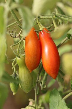 Andine Mais - längliche Tomate von Bärbel Severens