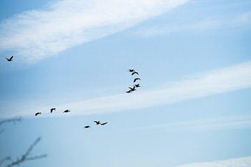 Groep vogels in formatie tegen een blauwe lucht van Fotografiecor .nl