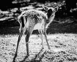 Black and White Bambi