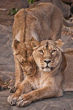 Mooie en sterke leeuwin en sterke leeuwin van Michael Semenov