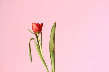 Einsame rote Tulpe auf einem hellrosa Hintergrund. von Hester Hielkema