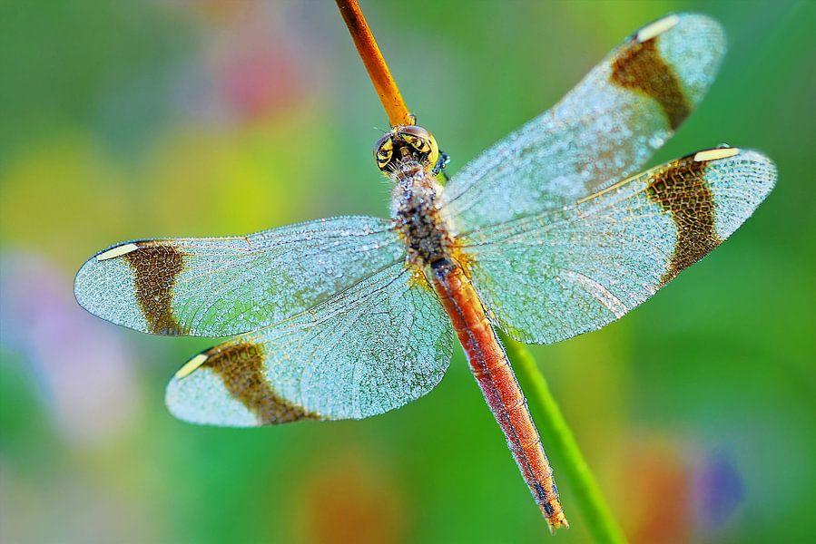 Vuur libelle in regenboog pallet van Gabsor Fotografie