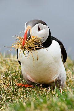 Papegaaiduikers in nestbouw van Denis Feiner