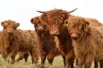 Schotse hooglanders nieuwsgierig groepje von Sascha van Dam