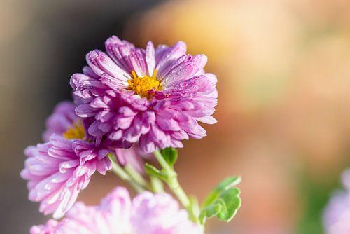 Roze chrysant van