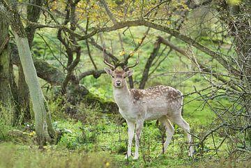 Ein junger, heller Hirsch. von Wendy Tellier - Vastenhouw