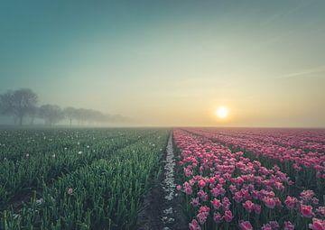 Tulpenvelden net na de zonsopgang.