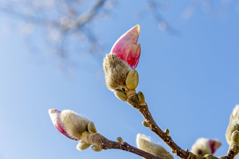 Magnolia in knop van Mayra Pama-Luiten