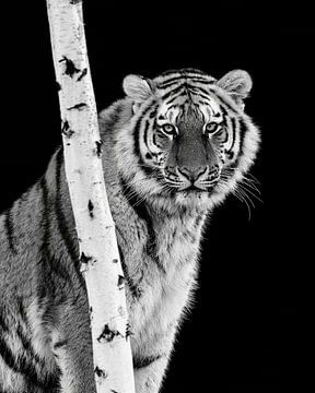 Der intensive Blick eines Tigers von Patrick van Bakkum
