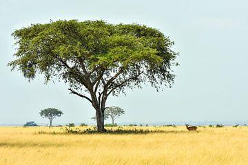 Impala in der typisch afrikanischen Landschaft / Naturfotografie / Uganda von Jikke Patist