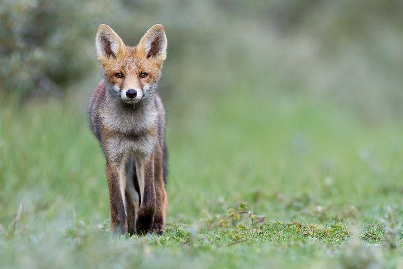 Junger Fuchs in den Dünen von Menno Schaefer