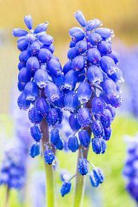 Twee bloeiende blauwe druifjes in lente