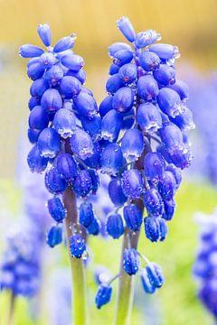 Twee bloeiende blauwe druifjes in lente van Ben Schonewille
