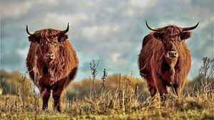 Schotse hooglanders von Jolanda van de Logt