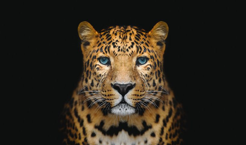 Panter tegen zwarte achtergrond - Panters - Dieren - Roofdieren - Portret - Panter - Panterprint van Hendrik Jonkman