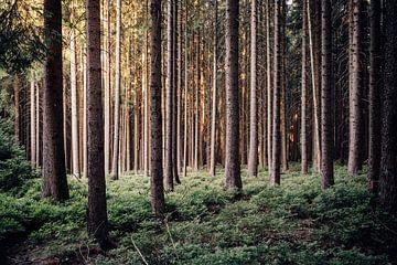 Harzer Fichtenwald van
