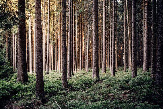 Harzer Fichtenwald