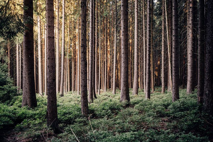 Harzer Fichtenwald van Oliver Henze