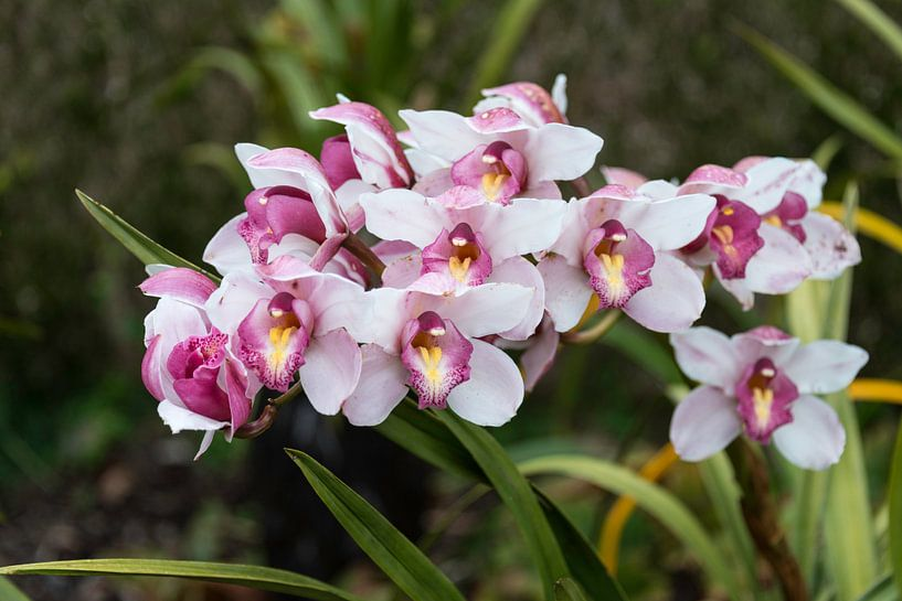 Orchidea, Orchid on madeira island sur ChrisWillemsen