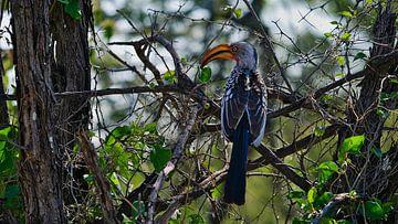 Geelsnavel neushoornvogel in de bush van Timon Schneider