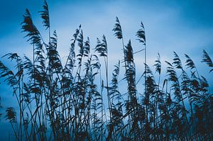 Riet ,Reed