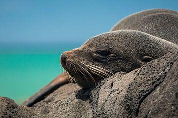 Pelsrob op de rotsen van Oamaru, Nieuw-Zeeland van Martijn Smeets