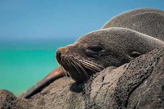 Pelsrob op de rotsen van Oamaru, Nieuw-Zeeland