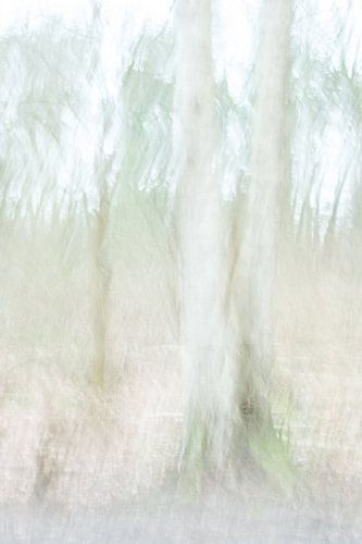 De berkenboom tweeling van