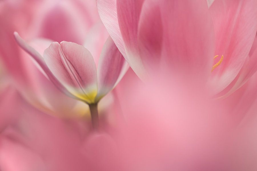 Roze tulpen van Teuni's Dreams of Reality