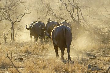 Büffel bei Sonnenuntergang, Kruger Park, Südafrika von Discover Dutch Nature