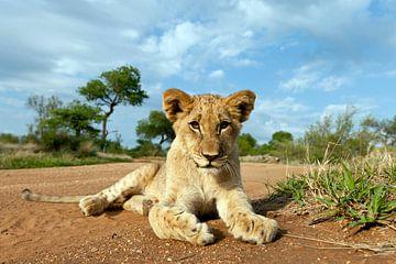 Jonge leeuw (Panthera leo) liggend op de grond, Hoedspruit, Nationaal Park Kruger, Zuid-Afrika van Nature in Stock