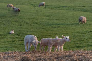 Lammetjes van Moetwil en van Dijk - Fotografie