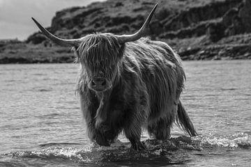 schottischen Hochlandrindern von Irene Dijkxhoorn