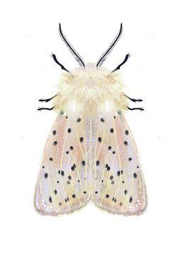 Weiße Motte auf weißem Hintergrund von Angela Peters